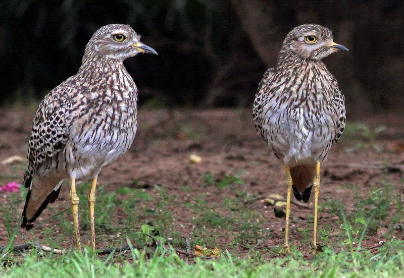 Thick Knee Couple