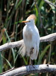 Title: Western Cattle EgretCanon EOS 550D Digital