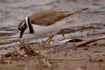 Title: Feeding Plover