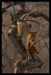 Title: Morning Kill - Leopard