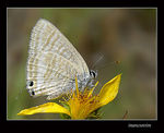 Title: Long-tailed Blue
