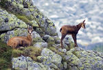 Title: Chamois female with her young