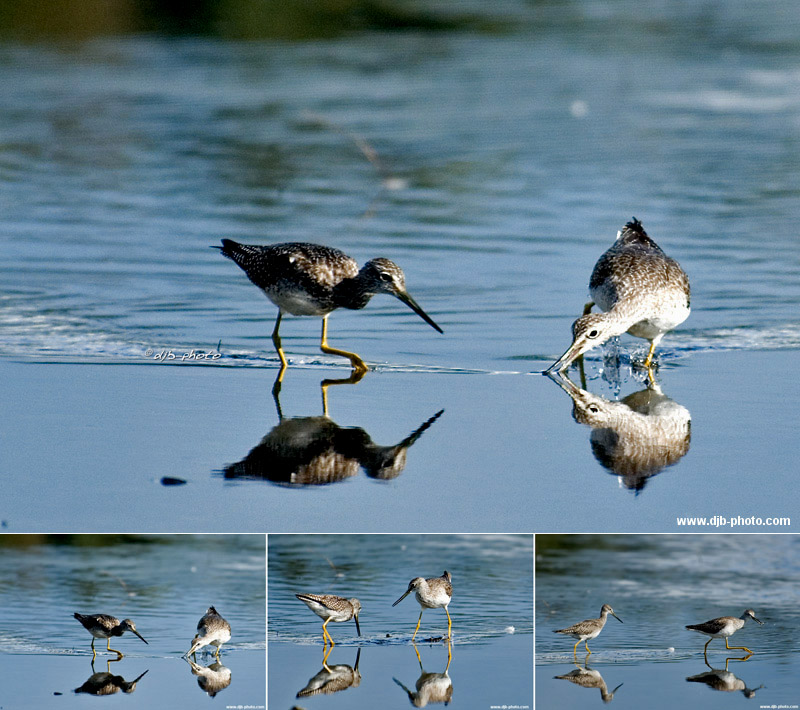Dowitcher sequence