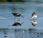 Title: Dowitcher sequence