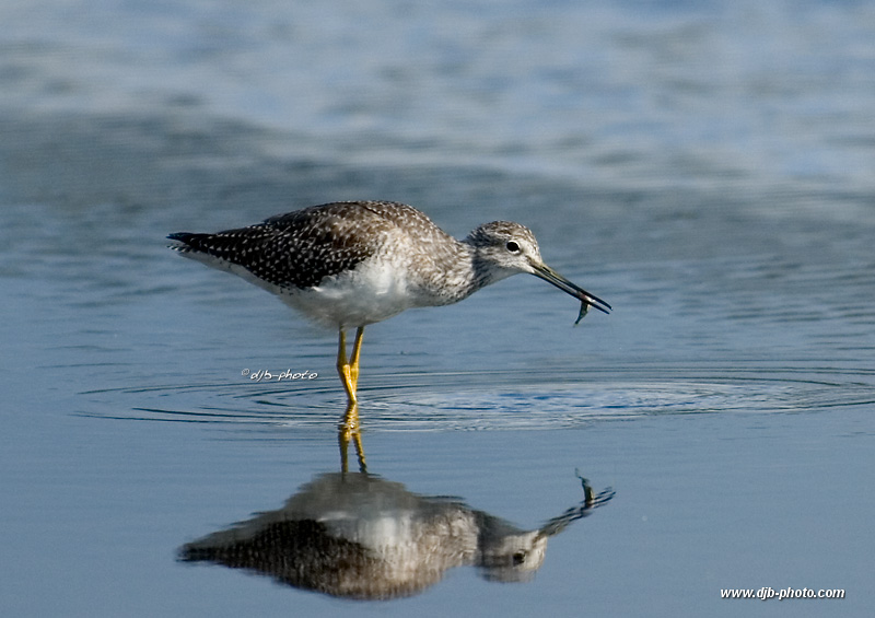 After the chase(dowitcher)