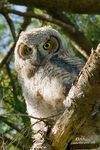 Title: Great Horned Owlet