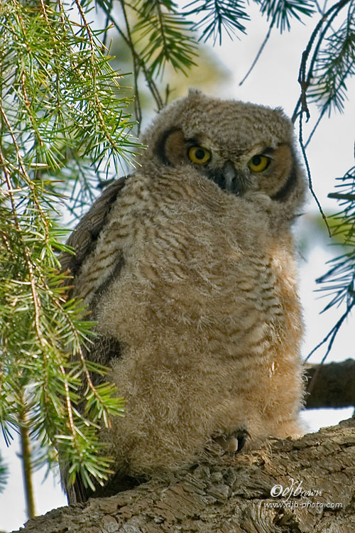 Great Horned Owl-Chick