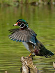 Title: Perched Wood Duck