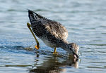 Title: Dowitcher going for food