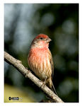 Title: Red House Finch