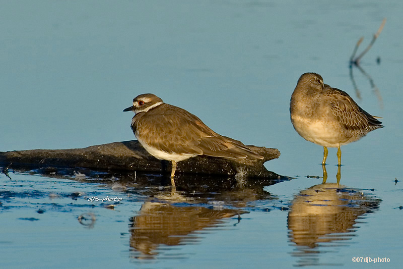 Killdeer...and Dowitcher