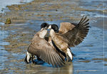 Title: Goose Fight