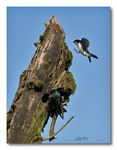 Title: Tree Swallows