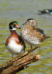 Title: Wood Ducks