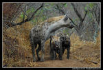 Title: Spotted Hyaena with cubsNikon D70
