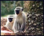 Title: Vervet_monkeys_2
