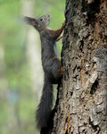 Title: Slovenian Squirrel