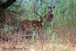 Title: Spoted Deer