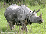 Title: One-horned Rhino