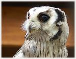 Title: White Faced Owl 2