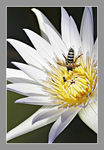 Title: Water Lily Flower and 2 Bees
