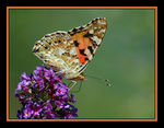 Title: Cynthia cardui (painted lady)