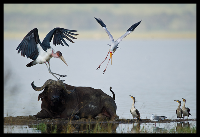 Jumping the African buffalo