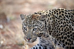 Title: Leopard Namibia