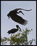Title: Two African Openbill