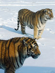 Title: Two Siberian Tigers in the snow