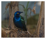 Title: a glossy starling