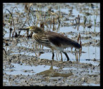Title: Chinese pond-heron