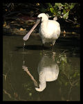 Title: Black-faced Spoonbill