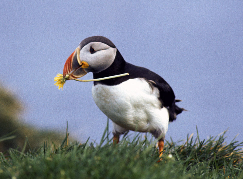 Puffin with dandelion