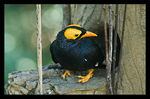 Title: Yellow-faced Myna at home