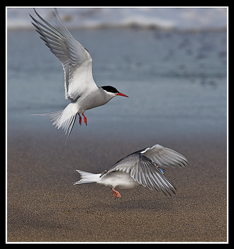 Feeding time for the young arctic tern
