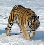 Title: Siberian Tiger in the snow