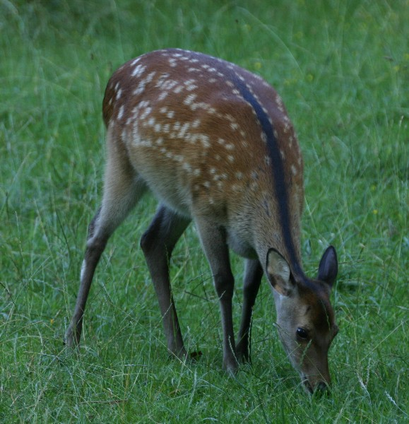 Fawn at the Dyrehave