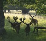 Title: Carr� of Red Deers