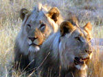 Title: Kings of Beasts