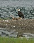 Title: Bald Eagle, WetNikon D200