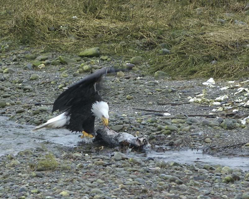 Eagle Eating Baby Seal