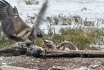 Title: Eagle Eating Baby SealNikon D200