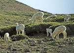 Title: Dahl's Sheep Ewes and Lambs