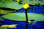 Title: frog and the water lily