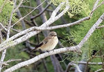 Title: Spotted Flycatcher