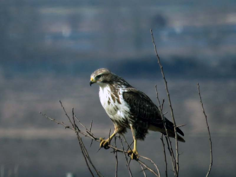 common-buzzard