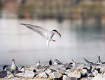 Title: common-tern