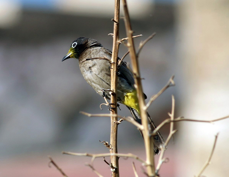 white-spectacled-bulbul