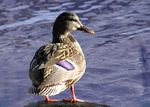 Title: Another DUCK